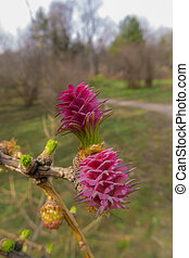 flowering larch in spring park