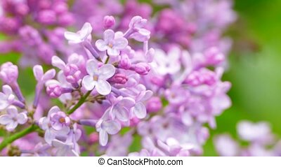 flowering lilac branch - the flowering branch of the lilac...