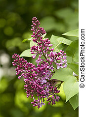 Flowering lilac in the city park