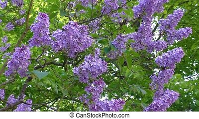 Flowering lilac tree in late spring