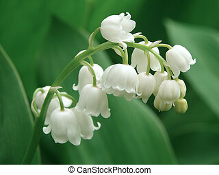 flowering lilly of the valley