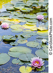 Flowering Lillypad in Pond - flowering lilly pad in the pond