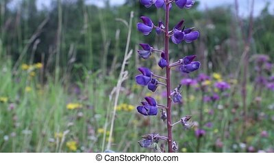 Flowering lupine close to - Flowering lupine blue...