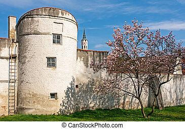Flowering magnolia tree at the historic city wall of Schrobenhausen (Bavaria, Germany)