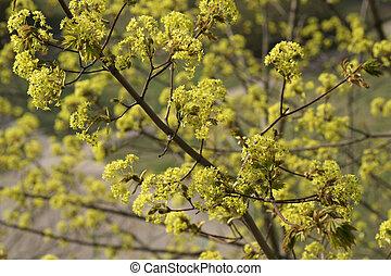 Flowering maple branch