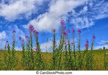 Flowering medicinal plant Blooming sally (Epilobium...
