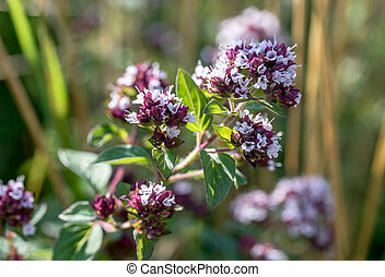 Flowering mint on a sunny day