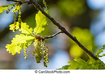 Flowering oak in spring