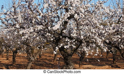 Flowering of almond flowers in the spring time on the...