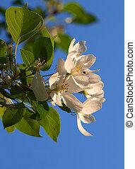 Flowering of apple-tree