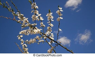 Flowering of Cherry Plum tree (in Latin: Prunus cerasifera) in springtime on the background of blue sky with clouds, static footage