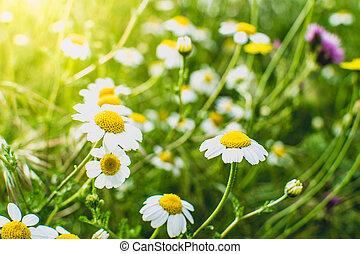 Flowering of daisies. Oxeye daisy, Leucanthemum vulgare. Gardening
