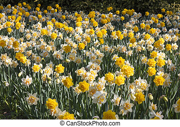 flowering of double-flowered daffodils - flowering of double...