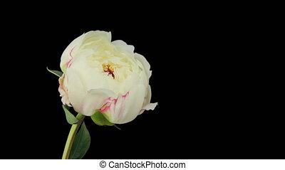 Flowering of White Peony