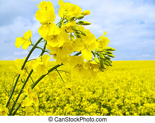 Flowering oilseed rape - Field of flowering oilseed rape - ...