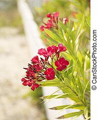 Flowering oleander bush.