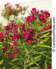 Flowering oleander bush. - Red flowering oleander bush.
