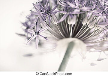 Closeup of pink and purple flowering onion flower head from below