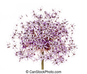 Pink and purple flowering onion flower isolated on white background