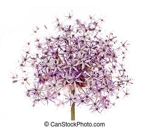 Flowering onion - Pink and purple flowering onion flower...