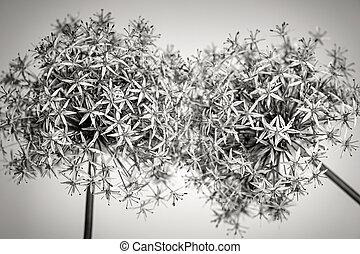 Flowering onions - Macro closeup of flowering onion flowers ...