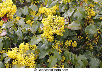 Flowering Oregon Grape