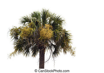 A single unkept flowering Palmetto tree (Sabal palmetto) against a white background. This tree is the official state tree of both Florida and South Carolina. The area on the right has been left as copy space for the designer.
