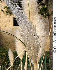Flowering pampas grass against