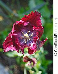 flowering parrot tulip