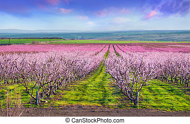 Flowering peach orchards near Istanbul. Beautiful outdoor ...