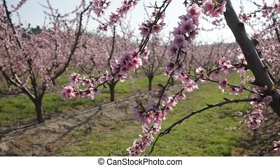 Close up view of blooming peach trees in fruit orchard