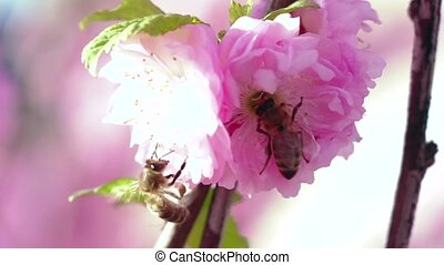 Flowering pear tree and bee taken pollen. Close up. Slow motion