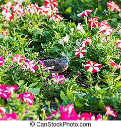 Flowering petunias on display. - Columbidae find food in the...
