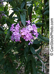 Pleasant aromas of summer flowering garden. Flowering phlox paniculata bush close up.