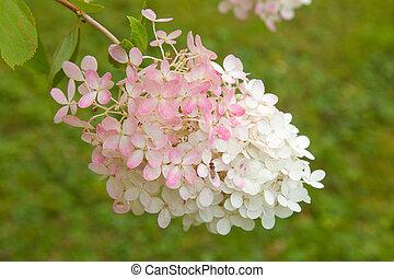 flowering pink and white Hydrangea paniculata