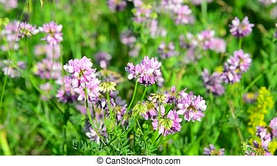 Flowering pink clover in meadow - Flowering pink clover in a...