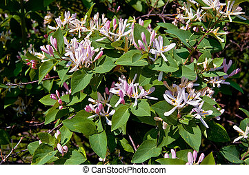 Pink flowers of honeysuckle on a background of green leaves