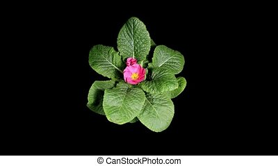 Flowering pink primula on the black background (Primula...