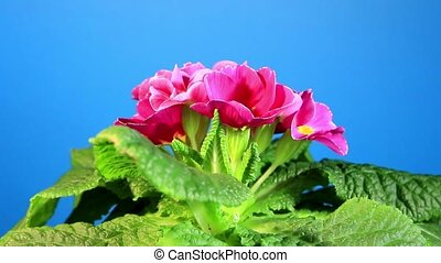 Flowering pink primula with blue chroma key (Primula...
