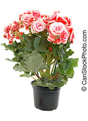 Flowering plant - Begonia flowering plant - family ...