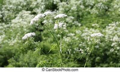 Flowering plant cow parsnip in the wild - The bush of a...