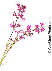 Flowering plant of Silene viscaria, it is isolated