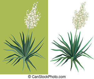 Flowering plant Yucca - Flowering green plant Yucca isolated...