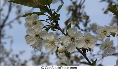 Plum branch with flowers on a dark background.