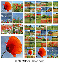 flowering poppies fields collage