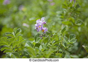 flowering potato plants, agricultural background
