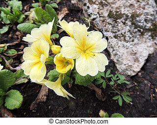 Flowering primrose (Primula), family Primulaceae