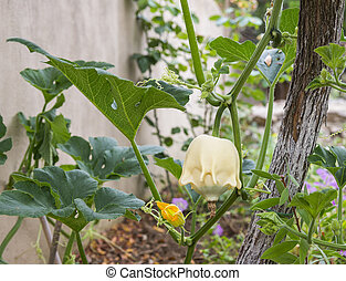 Flowering pumpkin with fruits