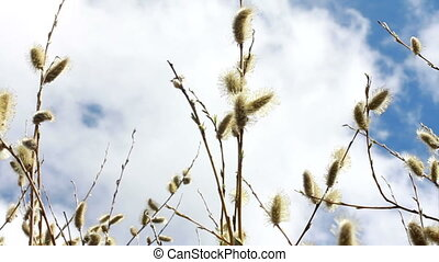 Flowering Pussy Willow