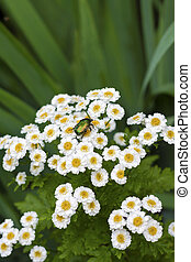 Flowering Pyrethrum closeup with goldsmith beetle sitting on...